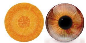 carotte oeil